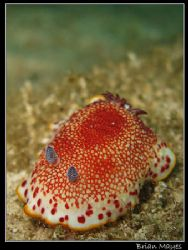 Chromodoris tinctoria taking a leisurely stroll, or shoul... by Brian Mayes